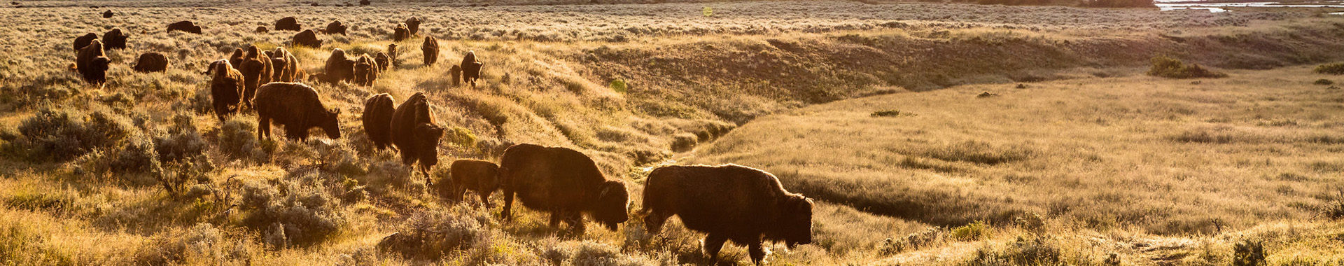 A herd of bison move across Yellowstone National Park's Lamar Valley.