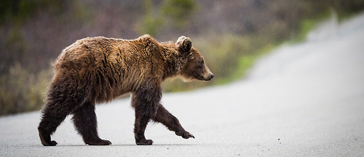 Alberta's grizzly bear population growth due to hard work, careful planning, and policy decisions